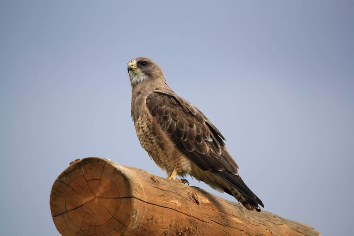 Red Tail Hawk Close Up