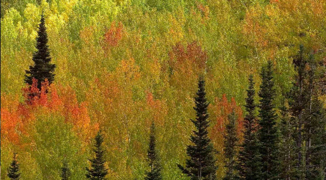 aspens-in-fall