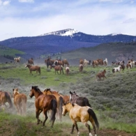 Horses are done working and heading out to pasture