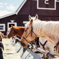 horses at the hay trough in front of the barn