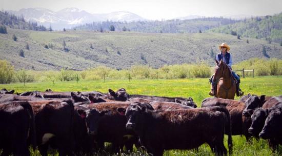 cattle-drive-peaceful-vista