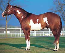 The white usually will not cross the back of the horse between its withers and its tail. Generally, at least one and often all four legs are dark. Generally, the white is irregular, and is rather scattered or splashy. Head markings are distinctive, often bald-faced, apron-faced or bonnet-faced.