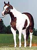 The dark color usually covers one or both flanks. Generally, all four legs are white, at least below the hocks and knees. Generally, the spots are regular and distinct as ovals or round patterns that extend down over the neck and chest, giving the appearance of a shield. Head markings are like those of a solid-colored horse--solid, or with a blaze, strip, star or snip.