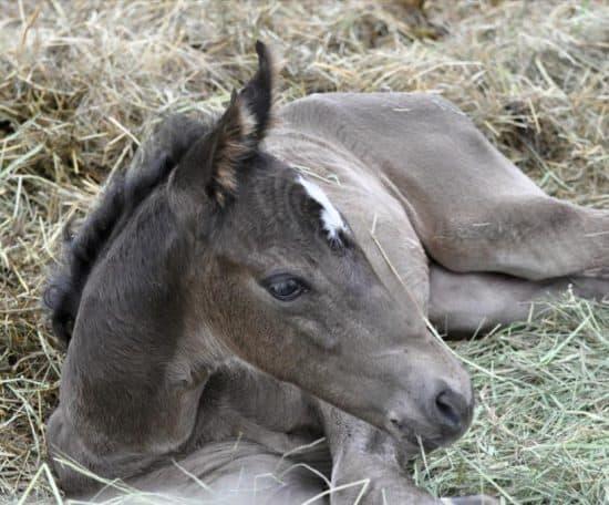 C Lazy U - Alice Foal