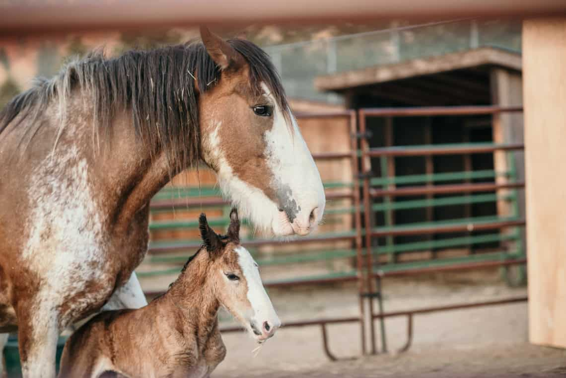 horse and her baby