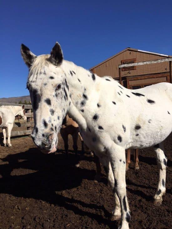 Domino - C Lazy U Horse