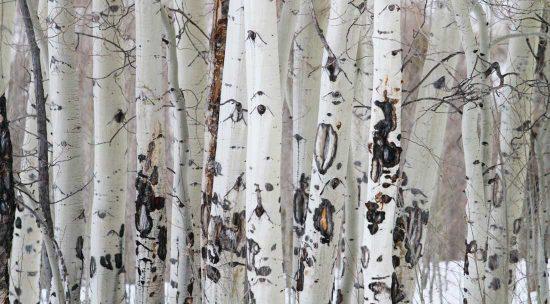 Closeup of Aspen trees