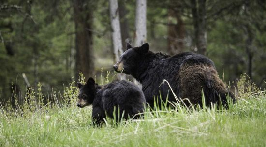Two black bears in the grass
