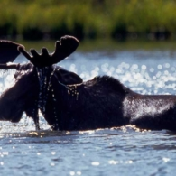 Moose bathing in river