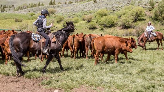 Participate in cattle drives as part of your dude ranch vacation at C Lazy U