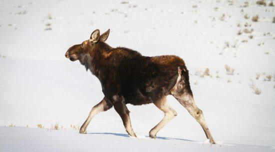 Moose walking in the snow