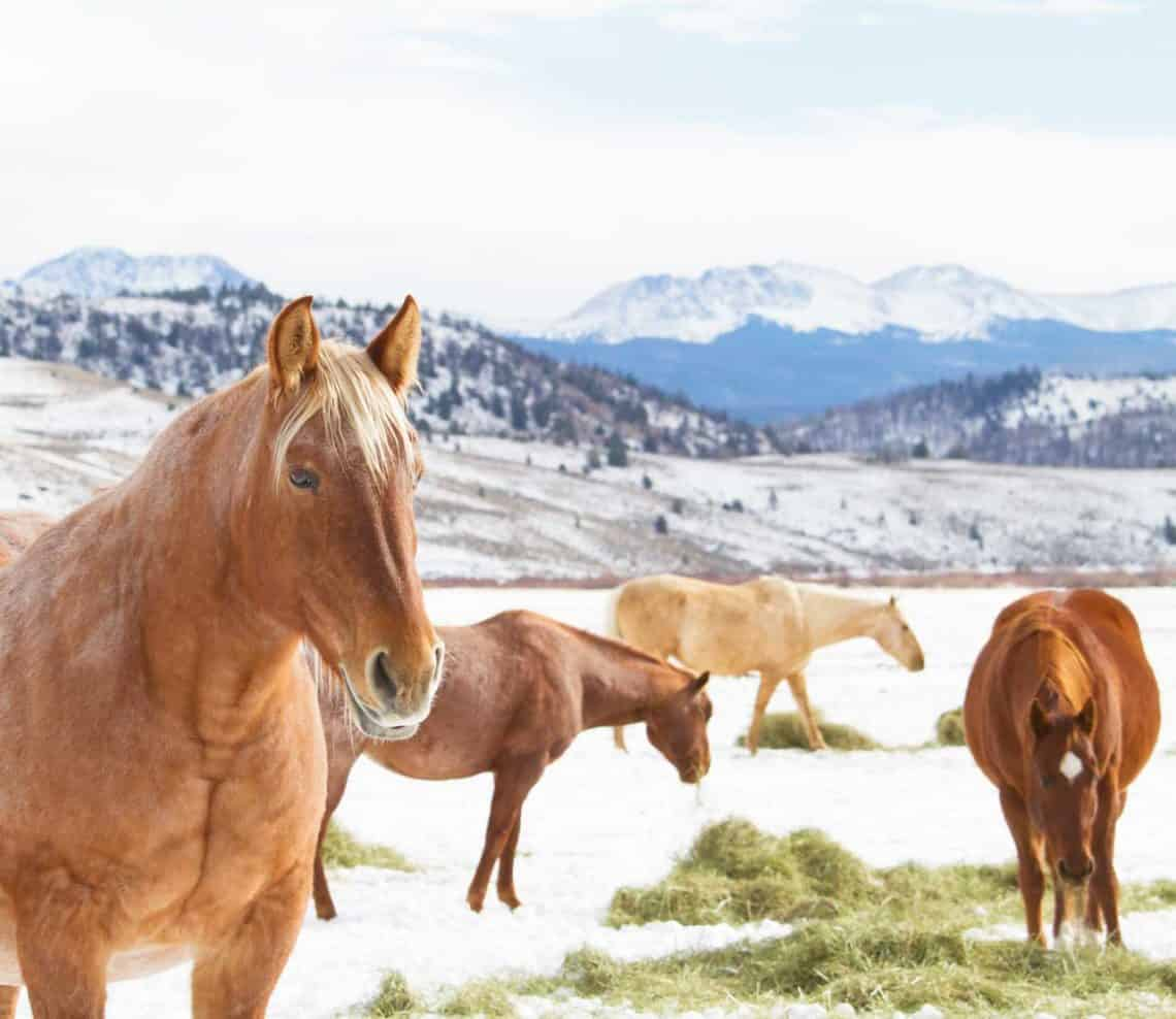 Four horses in the snow